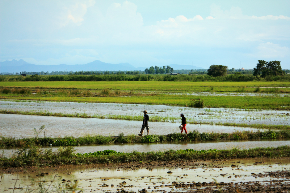 Farmers working in rice fields in Anglong Tean village, Cambodia