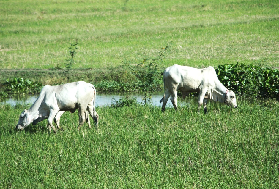 Cows grazing in the fields in Anglong Tean village